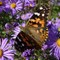 Painted Lady (open):