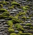 Moss Grows After The Rain