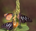 Wide open-shallow depth of field-Triumvirate of butterflied on aSpring morning time,Saltlake park ,Kolkata,India