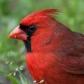 Male Cardinal, photo taken St. George's Island, FL, 2015