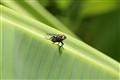 Fly On Banana Leaf