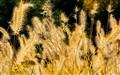 Grass Aglow