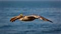 Pelican - San Diego - November 2011