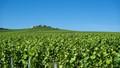 The vineyards of Verzenay, Champagne