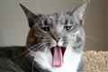 Chloe yawning.