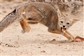Fox dodge