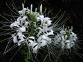 White Flower of Paradise