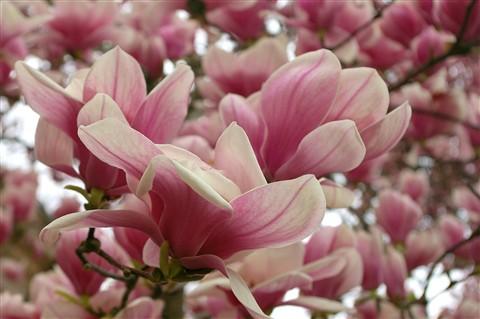 ~ Sweet Magnolia