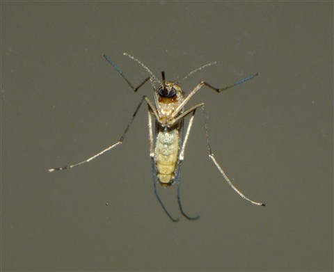 Mosquito low frontal macro