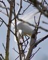 Great Egret preparing nest.