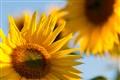 Sonnenblume Anspach