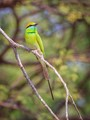 A Green Bee-Eater posing on a tree branch