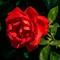 Pink-Rose-Flower-Web