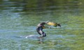 Cormorant and a catfish