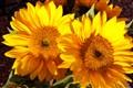 NovemberSunflowers 031