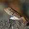 lizard J_S