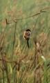 Pied Bush Chart-at Rajarhat,swamp,on reed,of ,tall.grass-Kolkata,India.