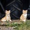 Two Orange Farm Kittens_rp