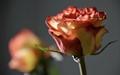 Rose f5.6
