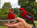 Feeding The Rosellas