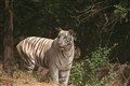 White tiger in Hyderabad Zoo