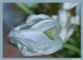 Silk tulip