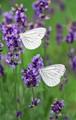 Analogous White Butterflies