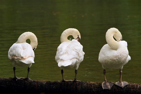 Three Swans Revised