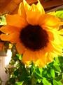 A sunny sun flower