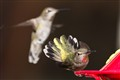Territorial Hummingbirds