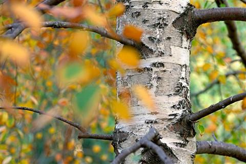 Autumn: Silver Birch
