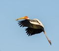 Painted stork, though shot at Zoo(Delhi-India), these are migrating birds to this Zoo every year.