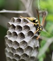 Paper Wasp Nest - Geometry is our middle name