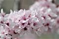 spring plum tree flowers
