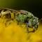 Bicolored Agapostemon Bee (Agapostemon viriscens)-2714