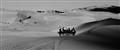 Camel fleet in a desert