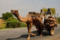 Dromedary in India road