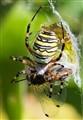 wasp spider / argiope bruennichi
