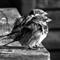 bird_cc