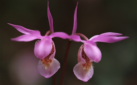 Calypso bulbosa, Fairy Slipper