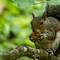 SquirrelWithWalnut-2764-1