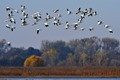 wild geese going home