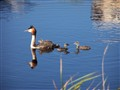 Grebe with young