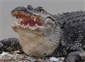 Big Mouth Alligator