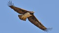 Martial Eagle 2