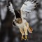 Red-tailed Hawk-2