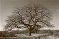 Moreton Oak 2a