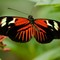 Piano butterfly