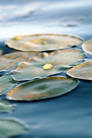 Cumberland lily pad