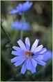 Cosumnes River Preserve Chicory